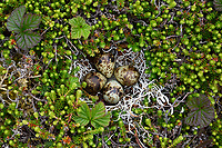 Nest and eggs of Rock Sadnpiper Calidris ptilocnemis ptilocnemis) of the Pribilof Island race. St. George Island, Alaska. July.