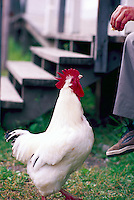 White Leghorn Rooster (Gallus gallus domesticus), Cock, Free Range Chicken, Domestic Fowl, Red Comb, Person feeding Freerange Farm Bird
