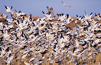 Snow Goose, Chen caerulescens, flock in flight, Bosque del Apache National Wildlife Refuge , New Mexico, USA, December 2003