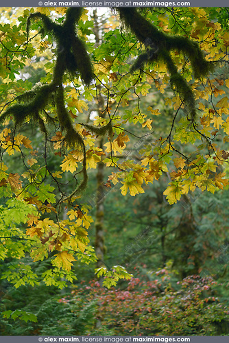 Fall leaves and mossy branches abstract fall nature scenery. Vancouver Island, British Columbia, Canada. Image © MaximImages, License at https://www.maximimages.com