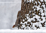 A squirrel comes down snow covered tree looking for more acorns at Center Springs Park as the area gets the first snowstorm of the season, Saturday, December 9, 2017, in Manchester. (Jim Michaud / Journal Inquirer)