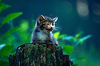 A kitten hisses from the top of a tree trunk.