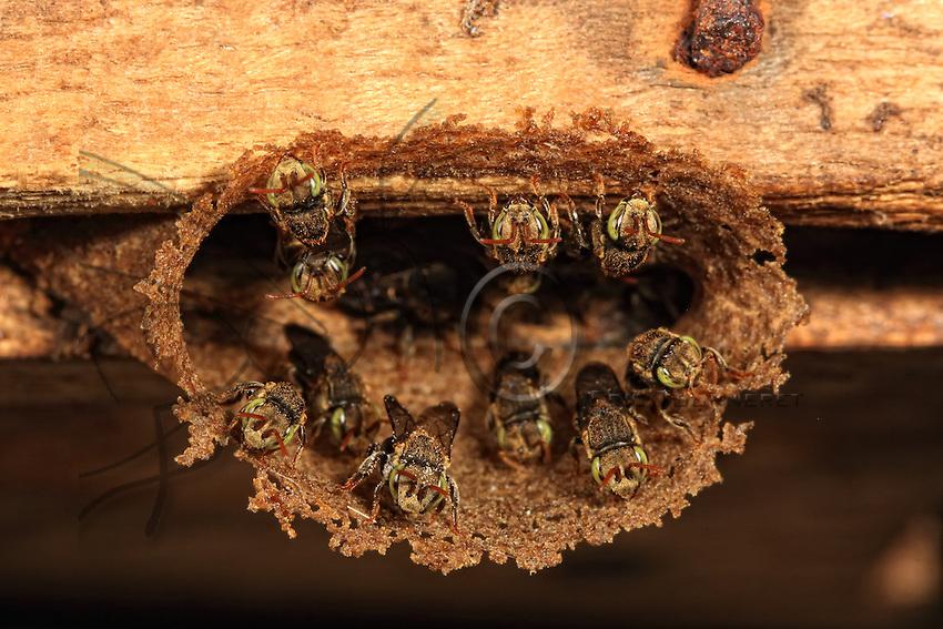 The entrance to a wild nest of the Nannotrigona perilampoides.///L'entrée d'un nid sauvage de Nannotrigona perilampoides.