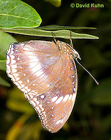 0101-0905  Common Great Eggfly Butterfly (Blue Moon Butterfly), Hypolimnas bolina, Central America © David Kuhn/Dwight Kuhn Photography