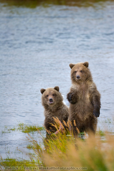 Brown bear cubs along the Brooks River, Katmai National Park, southwest, Alaska.