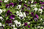 MAMMOTH 'GLAMARAMA WHITE' AND 'VIVA LA VIOLET', PANSY