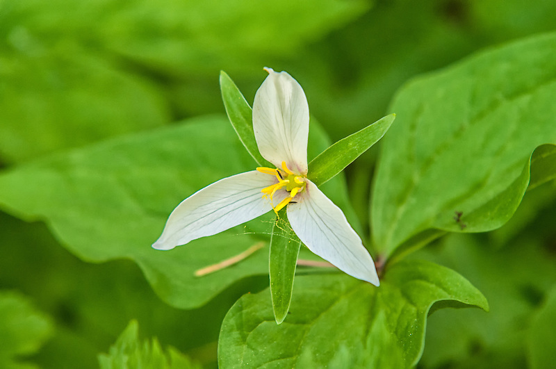 A close-up of a western trillium at the top of Snoqualmie Pass in the Cascade Mountains in Washginton.