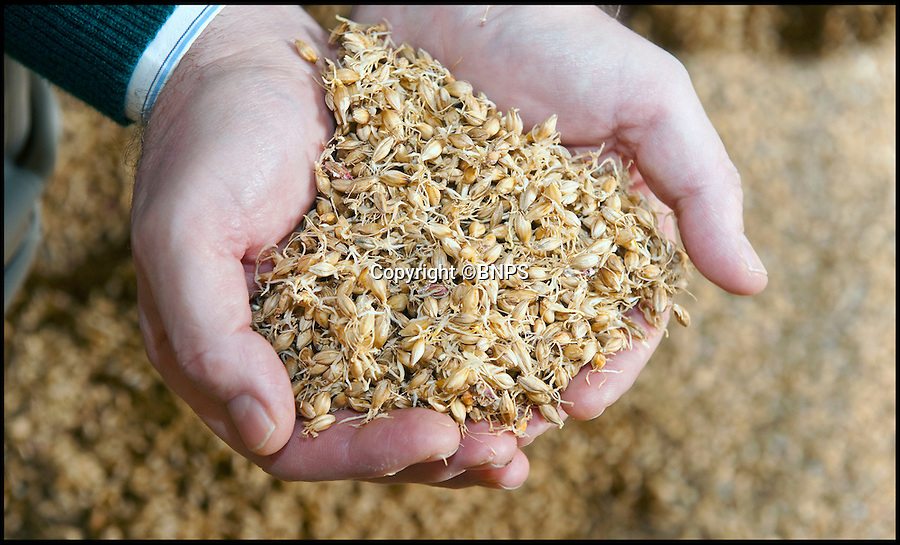 BNPS.co.uk (01202 558833)<br /> Pic: Phil Yeomans/BNPS<br /> <br /> Malted barley ready for crushing...<br /> <br /> The first of this years crop of top quality brewing barley is being malted at Britains oldest maltings in Warminster in Wiltshire.<br /> <br /> In continuous use since 1855, the purpose built malthouse produces 10 tons of the precious Maris otter malt every 3-5 days at this time of year as the fresh harvest is finally ready for the ancient process.