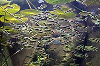 Stock photo: Beautiful fish draft of Blackline Penguin fishes swim near river water plants.
