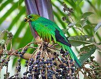 Male golden-headed quetzal