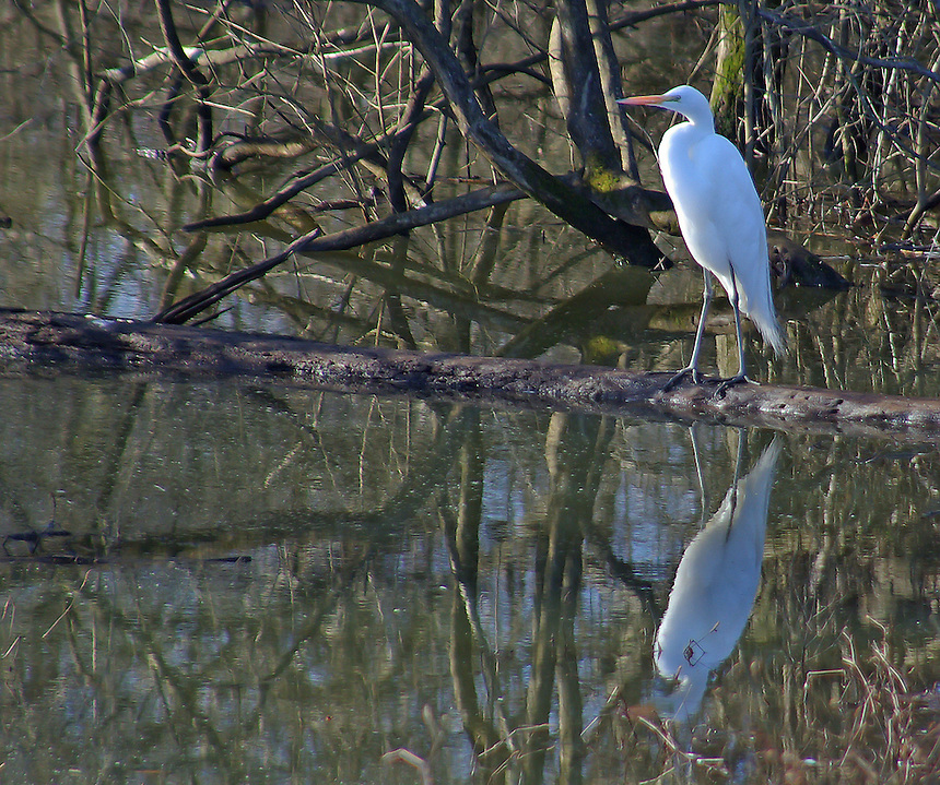Great egret with reflection, Lake Conway, Arkansas