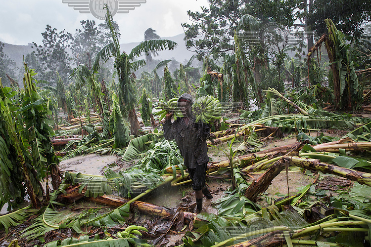 A man salvages bananas from his plantation in the coastal commune of Leogane, devastated by Hurriance Matthew. Hurricane Matthew, the first category 5 Atlantic hurricane since 2007, hit the island on 4 October 2016. Winds of up to 230km/h (145mph) tore across the worst affected areas, mainly in the south of the island, killing around over 1,000 people and leaving hundreds of thousands in need of assistance.