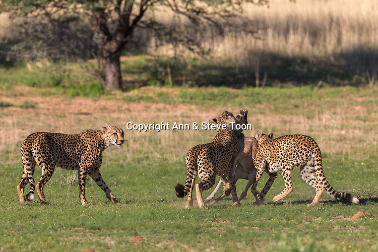 Cheetah (Acinonyx jubatus) killing wildebeest (Connochaetes taurinus) calf, Kgalagadi transfrontier park, Northern Cape, South Africa, January 2017