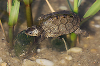 Diamondback Terrapin juveniile; in salt marsh;  Malaclemys terrapin; NJ, Delaware Bay