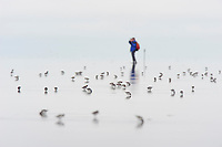 Shorebirds and  observer on the vast tidal flats of the Bering Sea. Yukon Delta National Wildlife Refuge, Alaska.