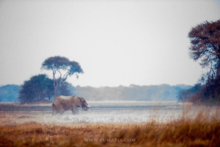 African Elephant (Loxodonta africana) bull grazing in floodplain, Busanga Plains, Kafue National Park, Zambia