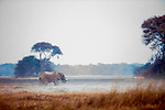 African Elephant (Loxodonta africana) bull grazing in floodplain, Busanga Plains, Kafue National Park, Zambia