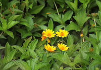 Group of four beautiful butter daisies in the middle of lush green leaves