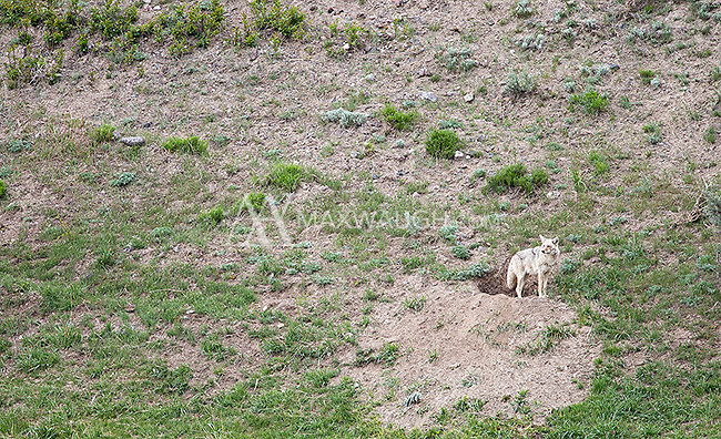 A coyote stands guard at its den after a wolf attack.