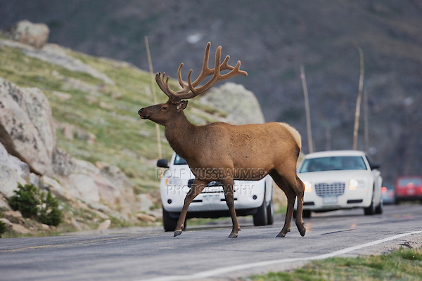Elk, Wapiti (Cervus elaphus), bull crossing road, Rocky Mountain National Park, Colorado, USA