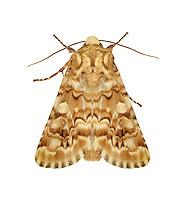 73.287 (2168)<br /> Viper's Bugloss - Hadena irregularis