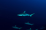 White tip reef shark, Triaenodon obesus