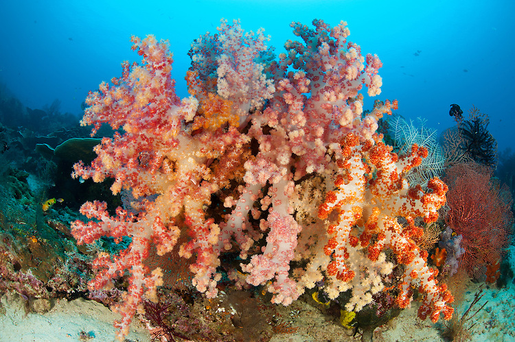 Colorful soft corals (Dendronephthya sp.) adorn a reef in Raja Ampat, West Papua, Indonesia