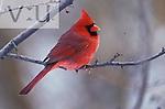 Male Northern Cardinal ,Cardinalis cardinalis,