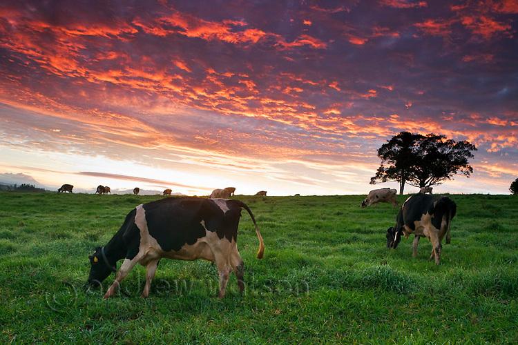 Dairy cows grazing in pastures at twilight.  Millaa Millaa, Atherton Tablelands, Queensland, Australia