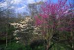 Spring flora, redbud, Hickory Run State Park, PA Northeast, PA Landscape,