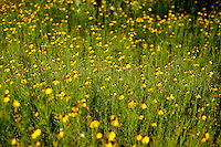 Wildflowers bloom along Highway 281, in Hill Country, Texas, April 26, 2010. Amongst others, Blue Bonnets, Indian Paint Brush, Indian Blanket, Winecup, Black Eyed Susan and Daisies are common along the highway...PHOTOS/ MATT NAGER