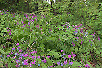 Frühlings-Platterbse, Zarte Platterbse, Lathyrus vernus, Spring Rea, Gesse du printemps, Pois printanier