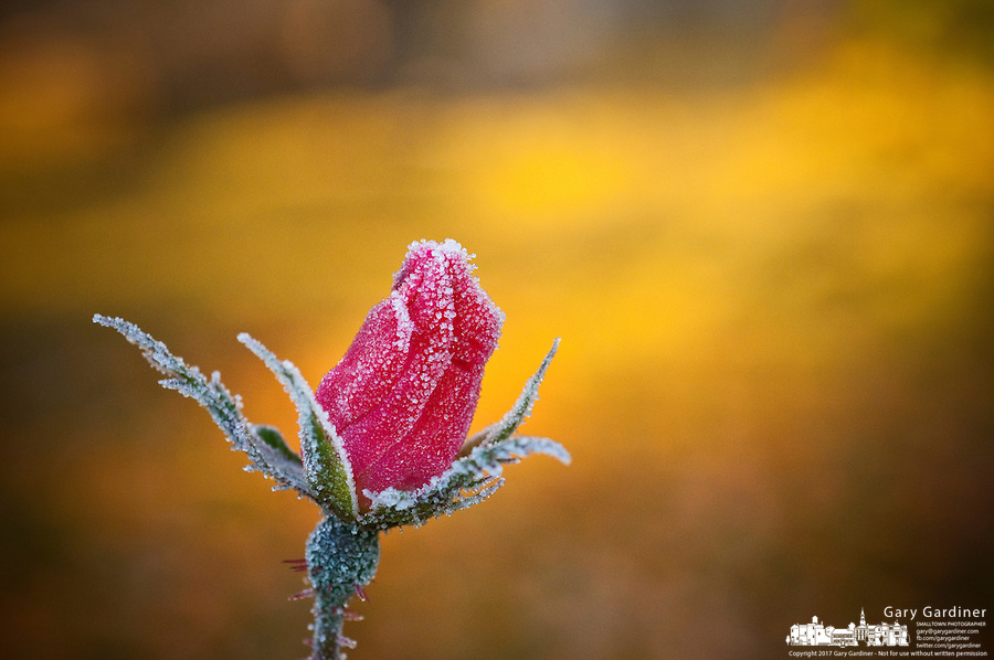 Morning frost covers the petals of a rose blooming at sunrise in the fall.