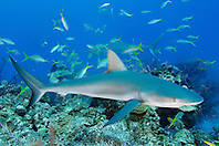 Caribbean reef sharks, Carcharhinus perezi, and yellowtail snappers, Ocyurus chrysurus, West End, Bahamas, Atlantic Ocean