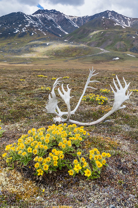 Glacier aven wildflowers and bull caribou antlers on the tundra in the Continetal Divide of the Brooks Range, Gates of the Arctic National Park, Alaska