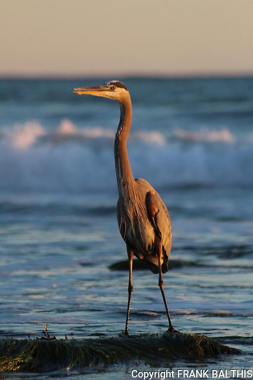 Great blue heron at Hendry's Beach in Santa Barbara
