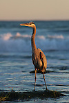 Great blue heron at Hendry's Beach in Santa Barbara