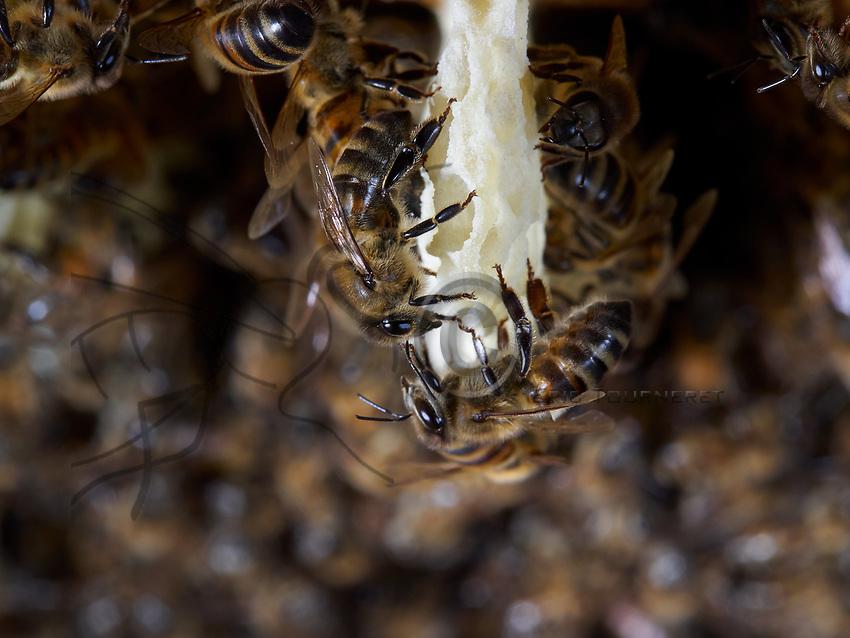 On a comb under construction, the bees build round cells with the wax that they secrete. The wax of the cera alba bee is made from the white and transparent scales that appear at the opening of the four small pockets situated on each side of its abdomen.<br /> Sur un rayon en construction, les abeilles construisent des cellules rondes avec la cire qu&rsquo;elles secr&egrave;tent. La cire d'abeille cera alba est r&eacute;alis&eacute;e &agrave; partir des &eacute;cailles blanches et transparentes qui apparaissent &agrave; l'ouverture des quatre petites poches situ&eacute;es de chaque c&ocirc;t&eacute; de l'abdomen de l'abeille.