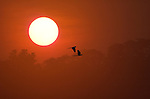 Red & Green Macaws, Ara Chloroptera, pair in flight against setting sun over jungle treetops, Manu, Peru, orange, red, silhouette, flying. .Peru....