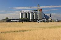 Wheat field in the Sacramento Valley near the Delta.