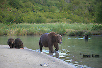 A photo of a sow and her two cub walking along the shore in Katmai National Park Alaska. Grizzly Bear or brown bear alaska Alaska Brown bears also known as Costal Grizzlies or grizzly bears