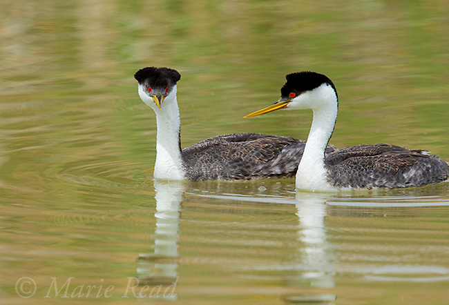 Western Grebe (Aechmophorus occidentalis) pair swimming, Bear River Migratory Bird Refuge, Utah, USA