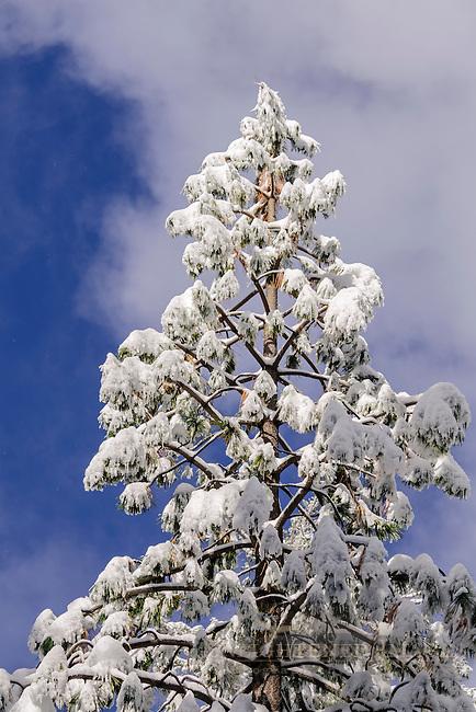 Fresh fallen snow on trees in winter, Dorrington, Calaveras County, California