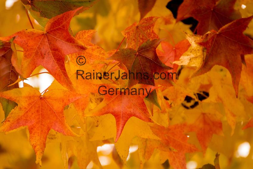 Austria, Upper Austria, Salzkammergut, Bad Ischl: yellow and red maple leaves | Oesterreich, Oberoesterreich, Salzkammergut, Bad Ischl: gelbe und rote Ahornblaetter