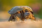 Common Snapping Turtle (Chelydra serpentina) female, Gloucester, Cape Ann, eastern Massachusetts