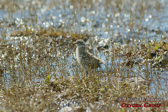 Immature Rock Ptarmigan