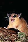 A red mouse opossum, Peru