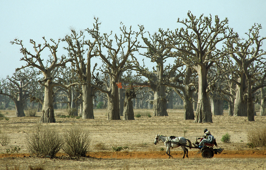 Cart moving along a Baobab Forest