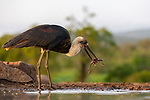 SEE MAIN IMAGES - SHOWING DOUBLE CATCH:  A stork gets more than it bargained for as it picks up two toads with its beak.  The woolly-necked stork was hunting for its breakfast when it grabbed the red toads while they were mating in water.<br /> <br /> These shots were captured in the Zimanga Private Game Reserve in South Africa by amateur photographer Jacob Bahar, 55.  SEE OUR COPY FOR DETAILS.<br /> <br /> Please byline: Jacob Bahar/Solent News<br /> <br /> © Jacob Bahar/Solent News & Photo Agency<br /> UK +44 (0) 2380 458800
