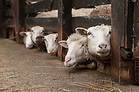 Sheep at Ferme Eboulmontaise farm in the Charlevoix city of Les Éboulements, Qc. Charlevoix lambs are the first food product in North America to be legally protected based on its region of origin.